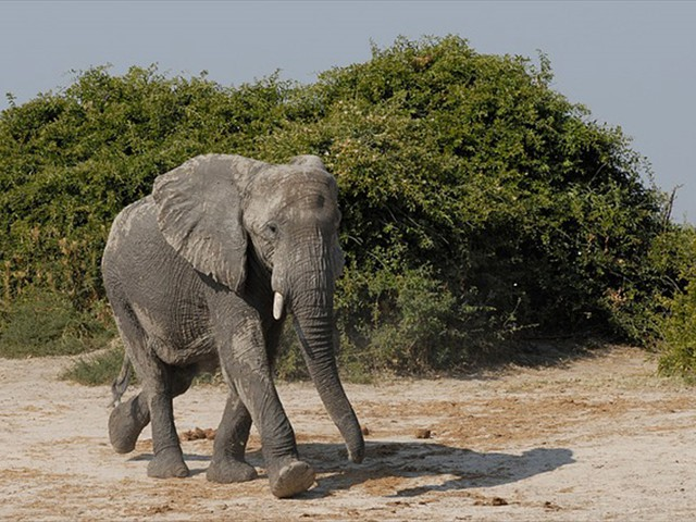 Elephant in the Savute area