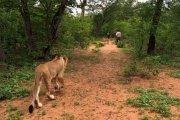 Lion walk in Victoria Falls