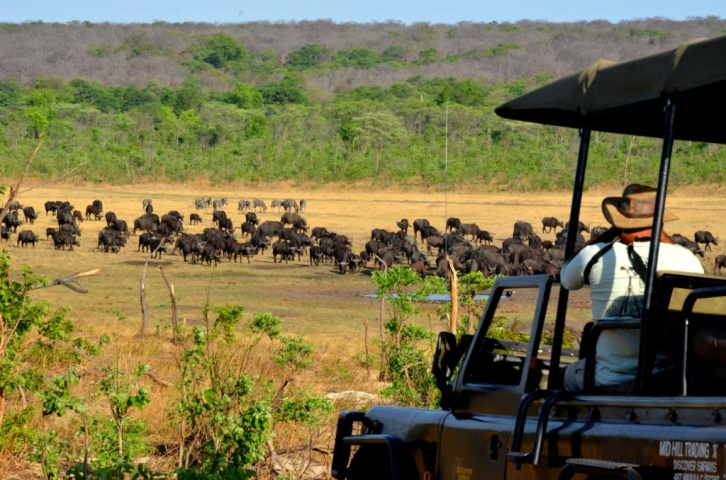 Buffalo seen on a game drive