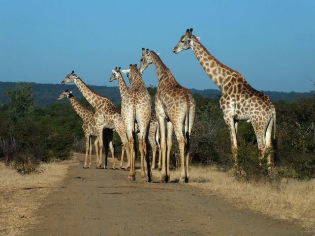 Giraffe crossing in Zambezi National Park