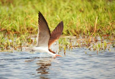 African Skimmer Skimming for Fish
