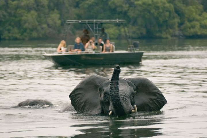 Elephants in the Zambezi River, seen on a river safari near Victoria Falls. Zambia