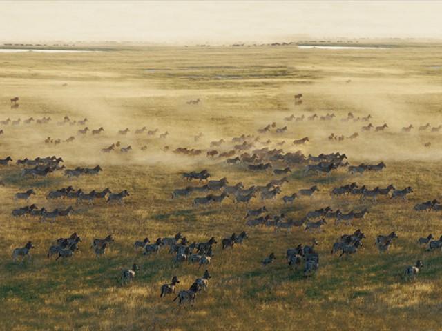 The great zebra migration