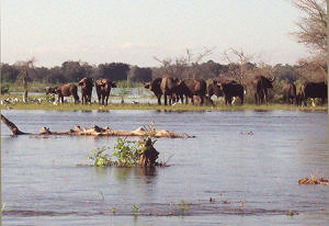ZimParks staff chased these buffalo to safety with their patrol boat - just in time!